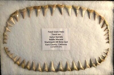 """20"""" LESSER GREAT WHITE (BROAD TOOTH MAKO) JAW TOOTH shark teeth megalodon fossil"""