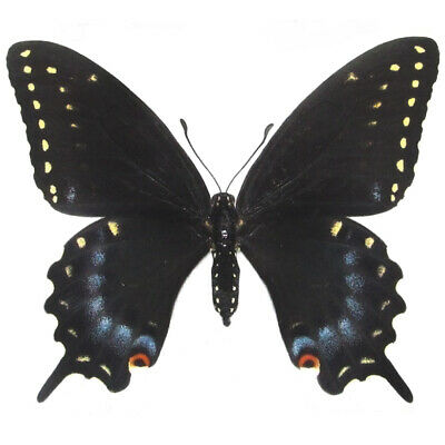 One Real Butterfly Black Blue Swallowtail Papilio Polyxenes Female Wings Closed
