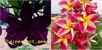 "Cutting//Grafted plumeria//Plants///""Mixed 6 Types/"" //10-12 inches"