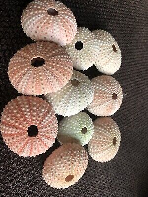 10 Sea Urchins. 4 To 5 Cm  Pinkish In Colour,