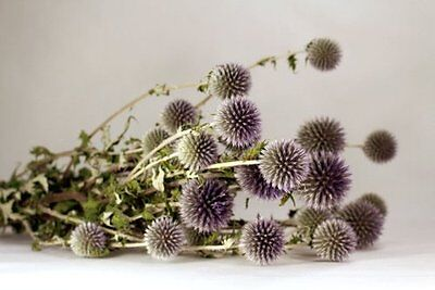 Beautiful Natural Green Preserved Dried Echinops Decorated Floral Great Gift!