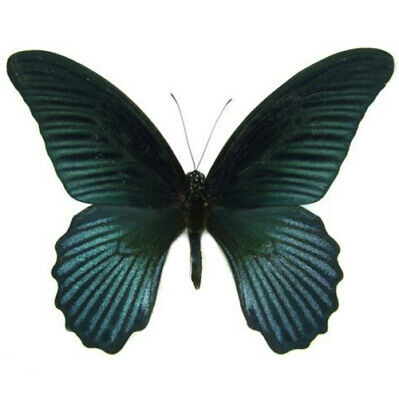 One Real Butterfly Papilio Memnon Agenor Blue Black Wings Closed Malaysia
