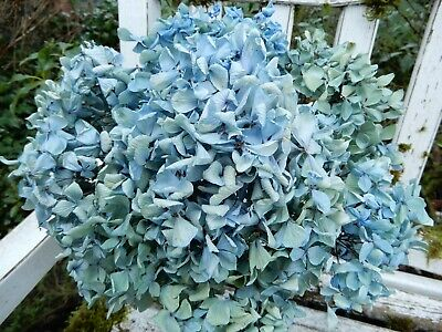 9 Dried Hydrangea Flower Lt. Green, Blue and Cream Wedding Rustic DIY Farmhouse
