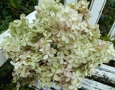 15 Dried P G Hydrangea Cream, Green + Blush  Wedding, Primitive Bouquets, Craft
