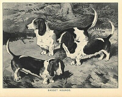 ANTIQUE Print 1881 3 EARLY BASSET HOUND DOGS VINTAGE ART