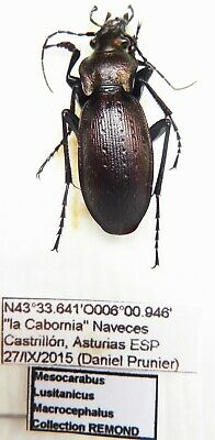 Carabus mesocarabus lusitanicus macrocephalus (male A1) from SPAIN