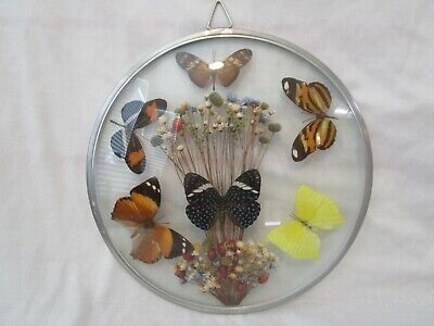 Vintage Real Butterflies Mounted Framed Under Convex Glass Brazil