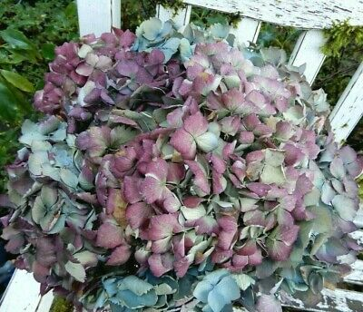 8 Large Dried Hydrangea Flowers Light Blue, Green + Purple DIY Crafts SECONDS