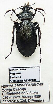 Carabus macrothorax rugosus baeticus (male A1) from SPAIN