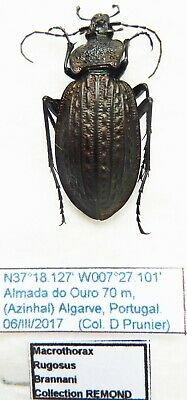 Carabus macrothorax rugosus brannani (female A1) from PORTUGAL