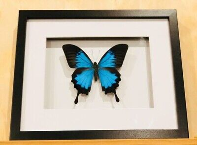 Framed butterfly,  Papilio Ulysses , insect taxidermy