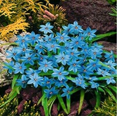 Special Rain Lily Bulbs Zephyranthes Rhizome Blue Flower Potted Bonsai Miniscape