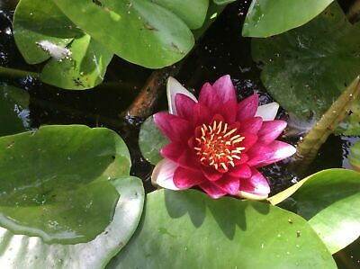 Red Live Deep Water Lily Pond Lake Plant Aquatic