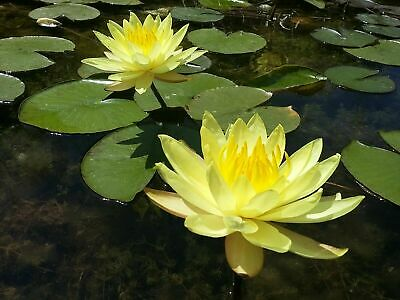 Yellow Live Deep Water Lily Pond Lake Plant Aquatic