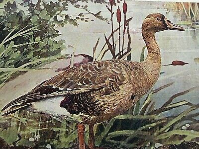 """1897 Picture White Fronted Goose 9.5X7"""" Animal  Art Wall Hanging Nature Study"""