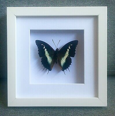 Framed Butterfly, White-barred Admiral Charades brutus, insect taxidermy