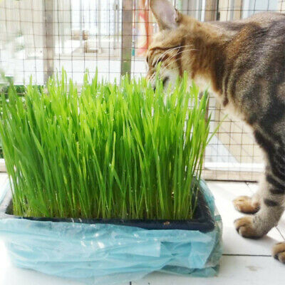 800 Seeds Cat Grass Oat Seeds Many Sizes Cat Bird Digestive Health C22 Aid N5Q2