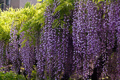 Blue Chinese Wisteria Vine, Flower Seeds tree (Fast, Showy) Wisteria sinensis