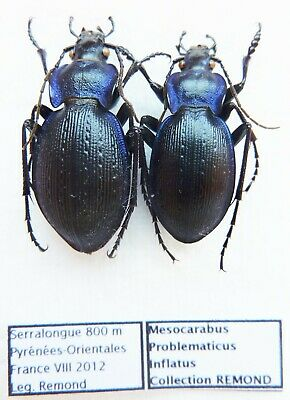 Carabus mesocarabus problematicus inflatus (pair A1) from FRANCE