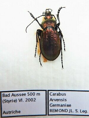 Carabus carabus arvensis germaniae (male A1) from AUSTRIA