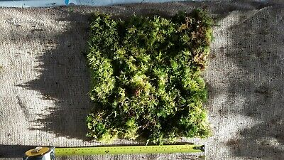 Live carpet moss 60cm x 30cm sheet