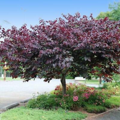 Forest Pansy Redbud Tree 3 4 Ft Cercis Canadensis Bare Root
