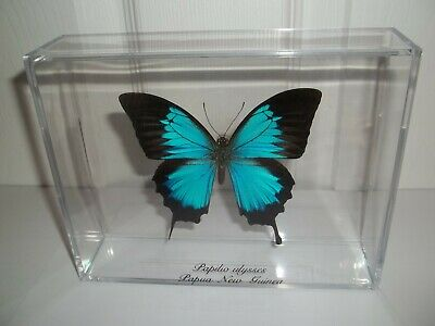 Real Blue Butterfly Papilio Ulysses From Papau, New Guinea Framed In Nice Case