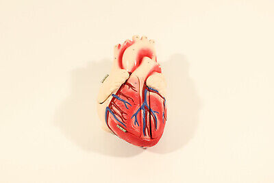 Denoyer Geppert 'Heart of America' Anatomical Medical Model