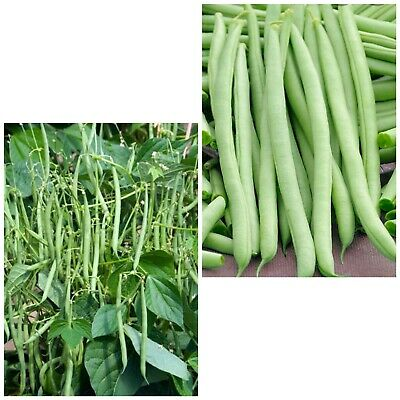 Pack Vegetable Seed Climbing French Bean /'Borlotta Lingua di Fuoco/' King/'s Seeds