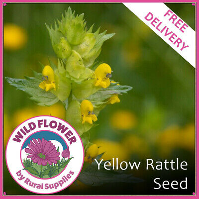 Wildflower Yellow Rattle - WILDFLOWER SEED TO ATTRACT BEES BUTTERFLIES