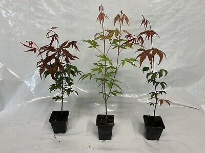 3 x Japanese Maple Acer Palmatum Pot Liner seedlings 7cm pot