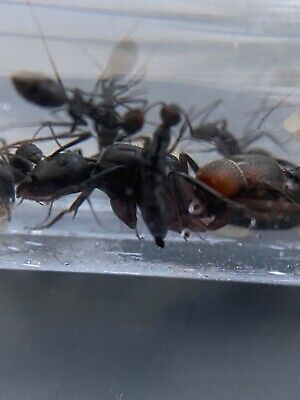 Camponotus cruentatus Live Queen Ant with 4-8 Workers and Brood (Anteater Food)