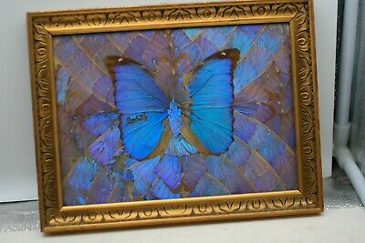Vintage Iridescent Blue Morpho Butterfly Wing  Brazil Wall Hanging