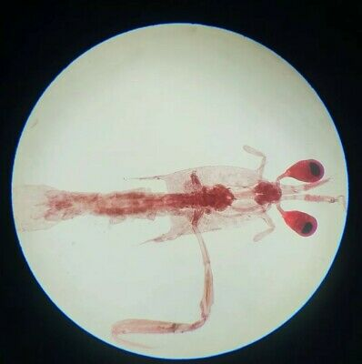 """Very Fine Antique Microscope Slide """"Young Shrimp"""" By Hornell Jersey"""