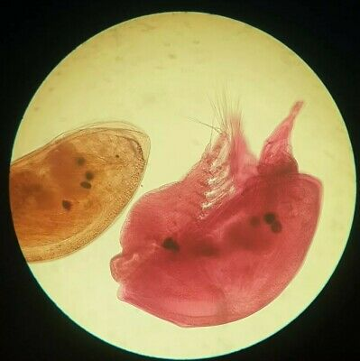 """Very Fine Antique Microscope Slide """"Cipris Stage Of Balanus"""" By Hornell Jersey"""