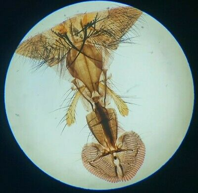 """Very Fine Antique Microscope Slide """"Proboscis Of Blow Fly"""" Test For 1"""" Objective"""