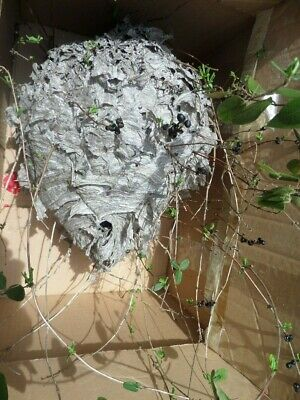Authentic Paper Wasp Hornet Bee Nest Hive With Branches - Rustic Cabin Decor