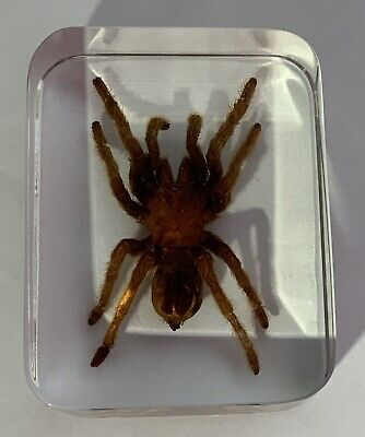 Real Trantula Paperweight Display
