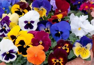 Matrix Autumn Selection Mixed F1-15 Seeds Pansy Flower