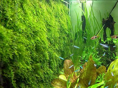 Xmas Moss # ada Mini S Nano aquarium fish tank