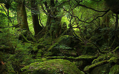 Mossy Forest Canvas Print 20*30 Inch HUGE !