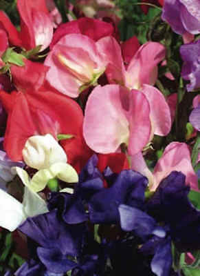 Sweet Pea - Mammoth Mixed - 30 seeds *Free P&P*