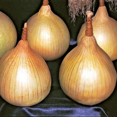 Vegetable Onion Ailsa Craig Appx 500 seeds