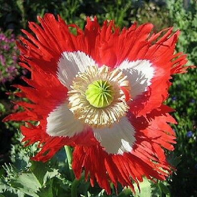 Papaver Danish Flag Poppy Approx 500 seeds - Annuals & Biennials