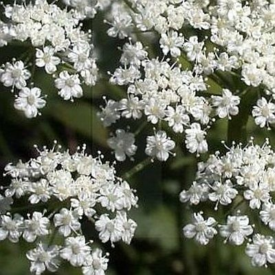 ANISE 100 Seeds Pimpinella anisum licorice culinary medicinal plant herb garden