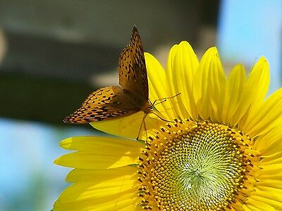 Butterfly Dancing on Sunflower Picture Bathroom Bedroom Dining Fine Art Decor