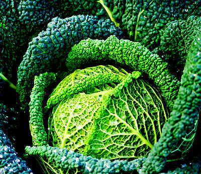 Vegetable Savoy Cabbage Winter King appx 750 seeds