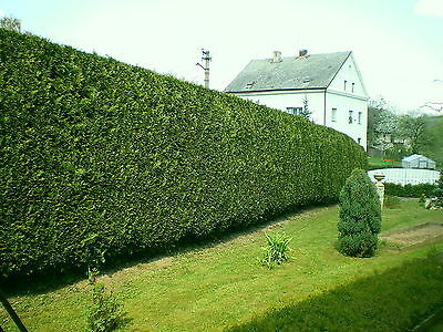 20 Leyland Cypress / Green Leylandii 1-2ft Tall in 9cm Pots, Evergreen Hedging