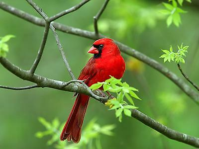 Red Cardinal / BIRD 8 x 10 / 8x10 GLOSSY Photo Picture IMAGE #2