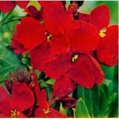 Wallflower 'Blood Red' Chieranthus cheiri ~ 250 seeds Perennial